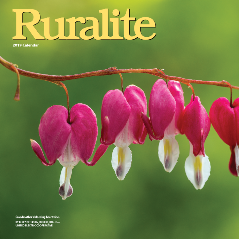 Ruralite 2019 Calendar. Grandmother's bleeding heart vine. By Kelly Peterson, Rupert, Idaho. United Electric Cooperative.
